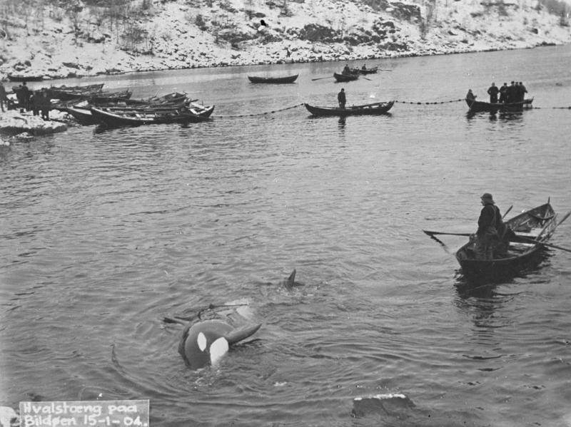 Hvalfangst på Bildøy 1904